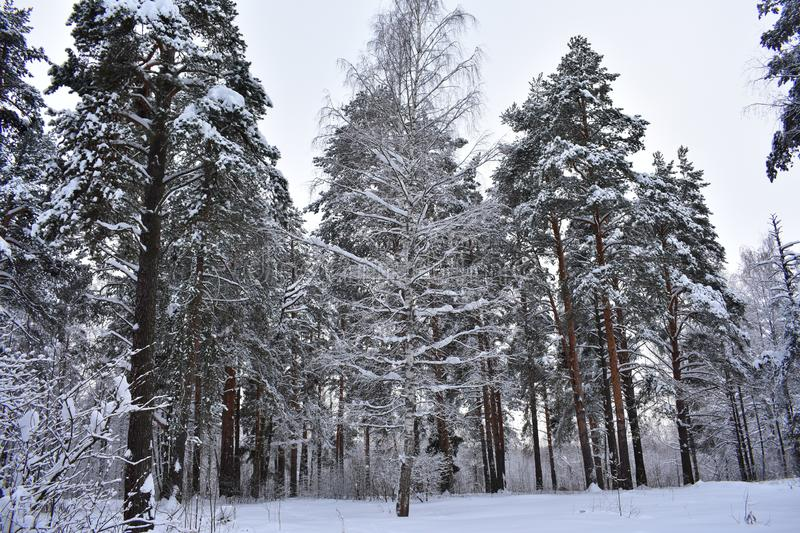 In the morning in the snow-covered forest. Winter forest, frosty morning royalty free stock images