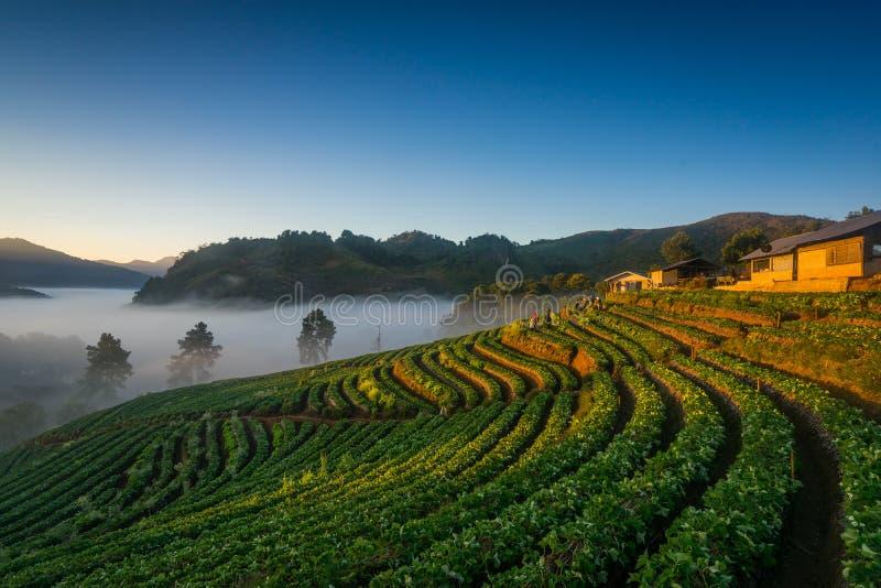 Morning Strawberry farm. Doi angkhang , Chiangmai. Morning Strawberry farm. Doi angkhang , Chiangmai province. THAILAND royalty free stock image