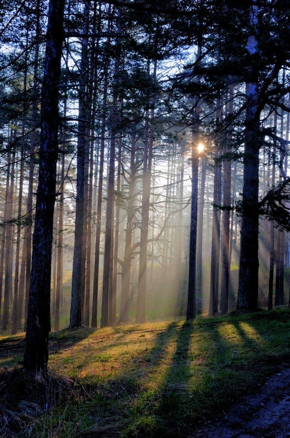 Morning sun beam in forest. Mystic forest scene stock image