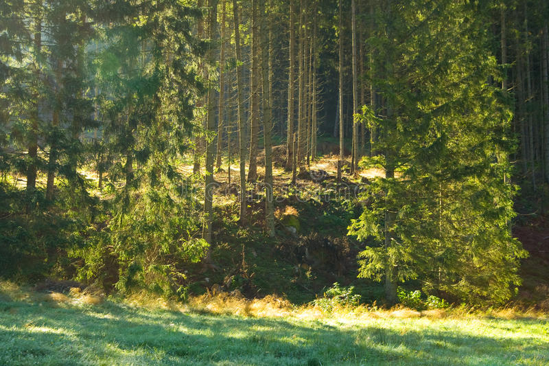 Morning Sun Beams In The Forest Royalty Free Stock Images