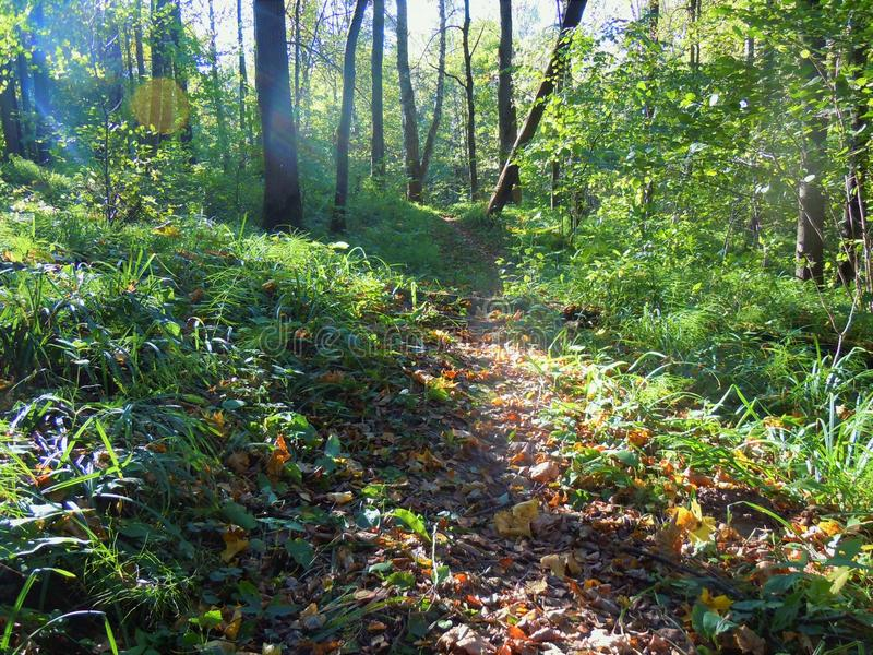 Morning sun in the deep forest, september. royalty free stock photography