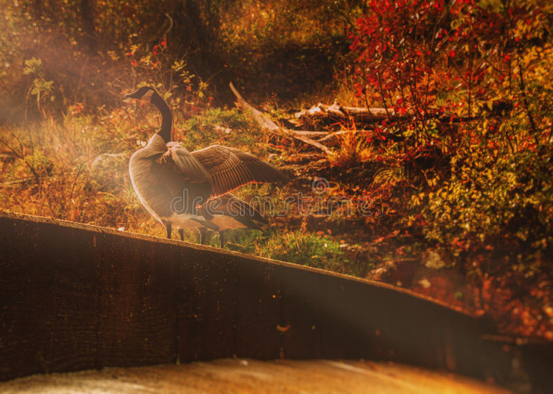 Download Morning sun and goose stock image. Image of nature, wildlife - 42631219