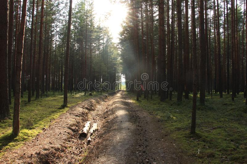 Morning sun in a pine forest. Morning sun illuminating a path in a pine forest royalty free stock images