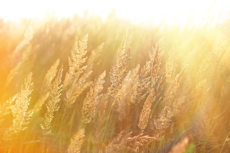 The morning sun rays in the high grass. Beautiful nature stock photo