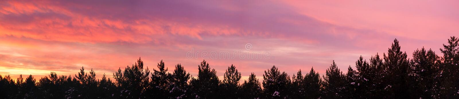 The morning sun rises above the pines. The sky turned pink lilac colors stock photo