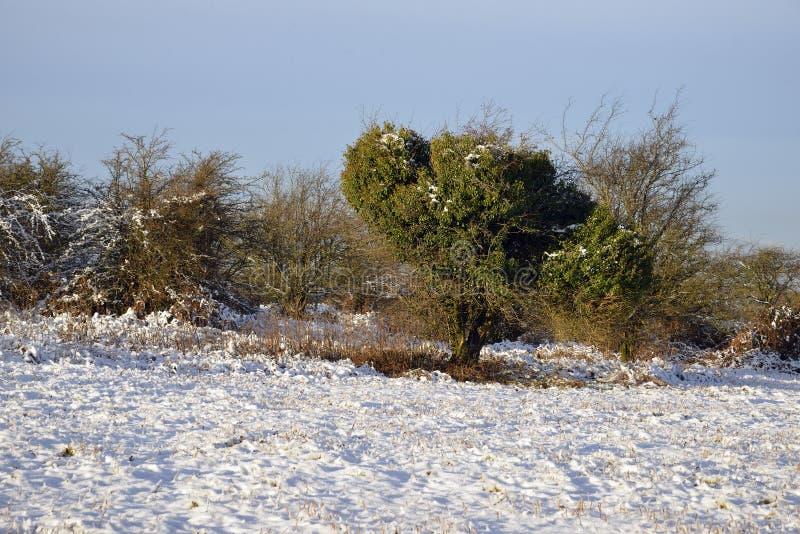 Snow on Burrington Ham. Morning Sun on Snow with Hawthorn & Ivy, Burrington Ham, Mendip Hills, Somerset royalty free stock photos