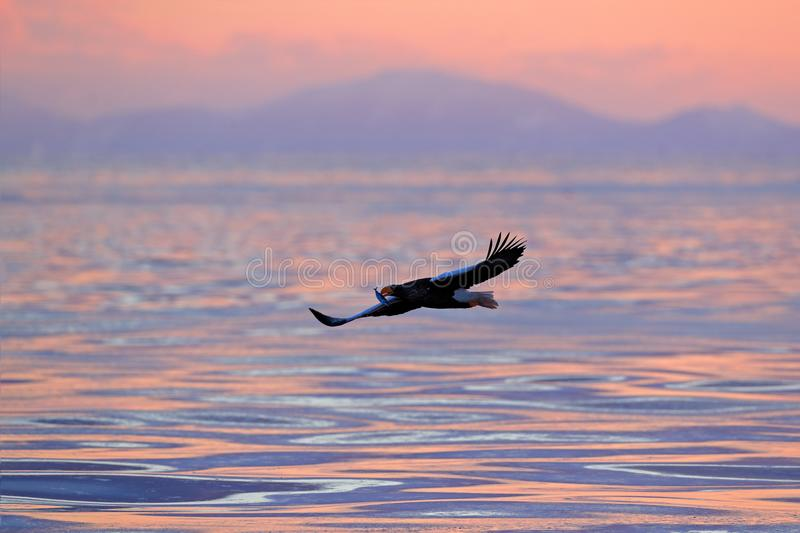 Morning sun, sunrise. Eagle flying above the sea. Beautiful Steller`s sea eagle, Haliaeetus pelagicus, flying bird of prey, with stock photography