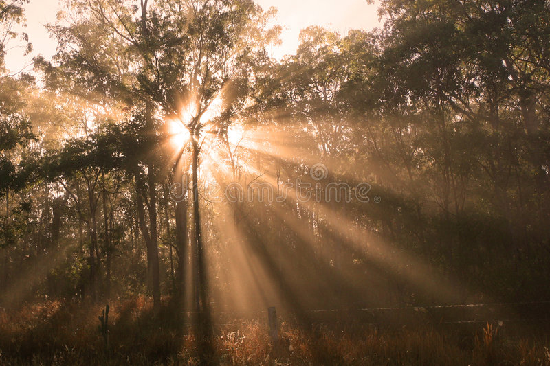 Morning Sunlight. Shafts of morning sunlight filtering through eucalyptus tree canopy, Australia stock photography