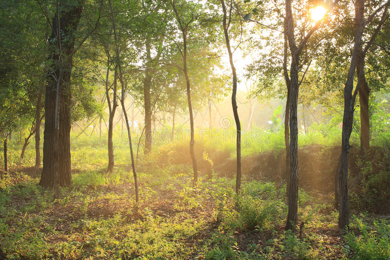 Morning sunlight. In the forest royalty free stock photo