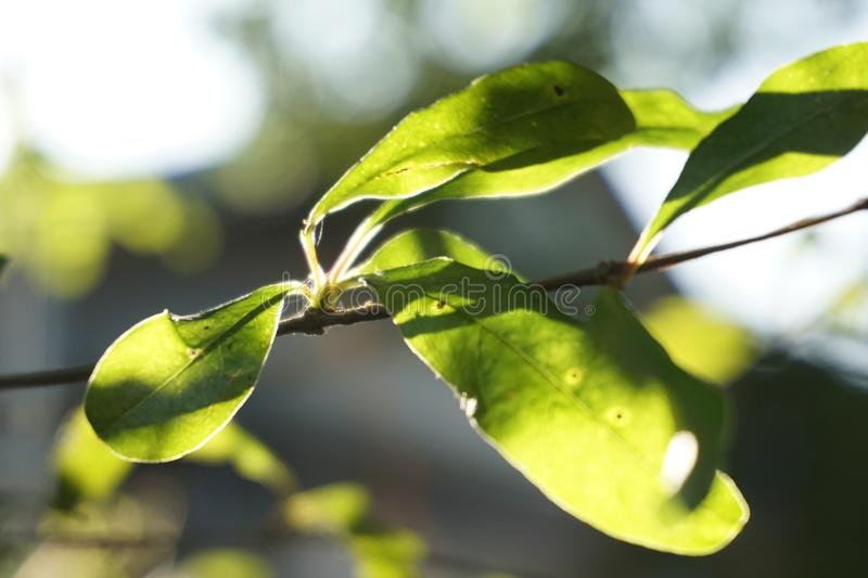 Morning sunlight green gross. A backlight to nature green gross on early stock images