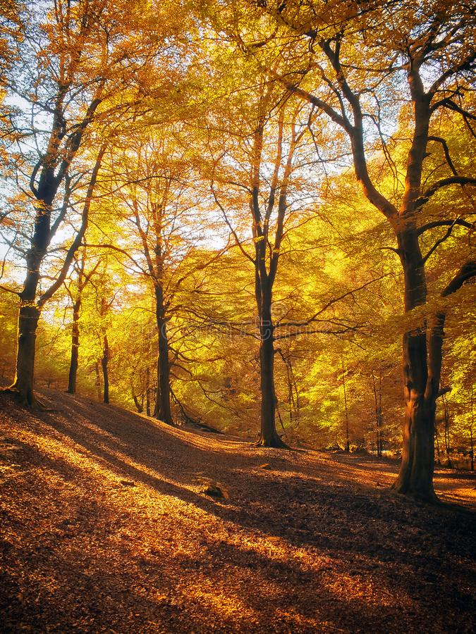 Morning sunlight in woodland shining though golden autumn foliage with dappled light and shadow on the forest floor. Carpeted with leaves royalty free stock images