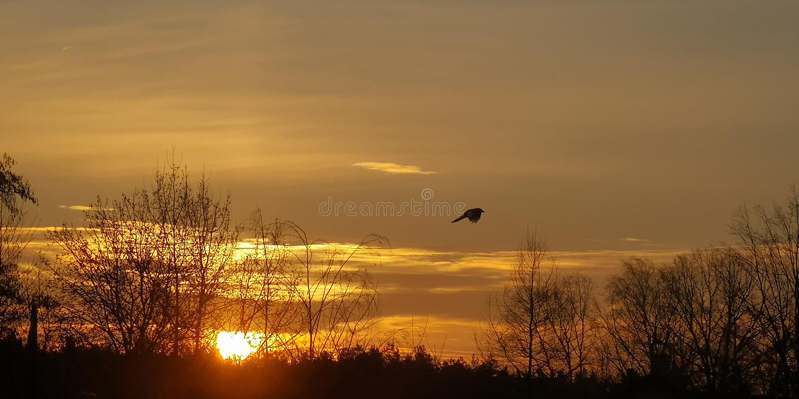 Morning, sunrise. Bird on the background of the rising sun. Golden clouds royalty free stock image