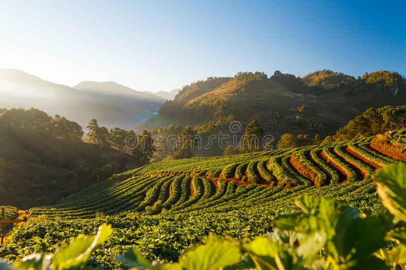 Morning sunrise in strawberry garden at Doi Ang-khang mountain, royalty free stock photos