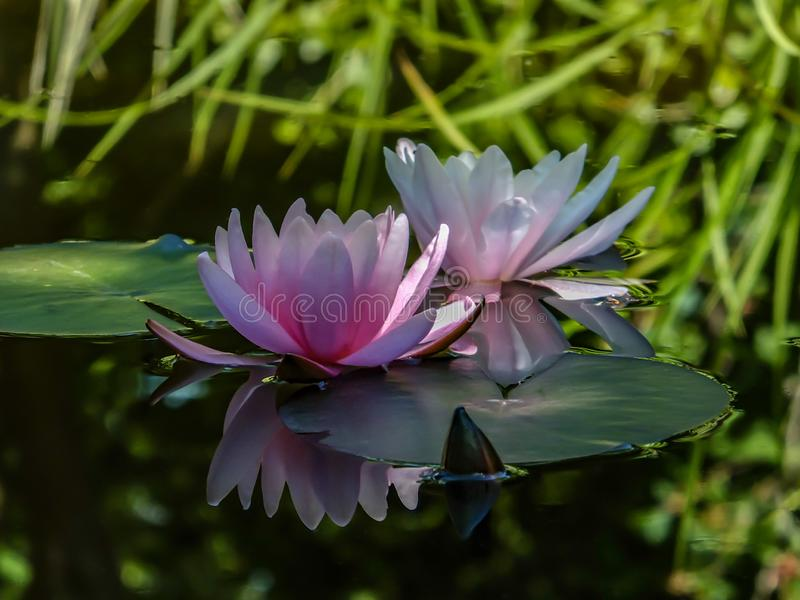 Morning of two pink water lily or lotus flower Marliacea Rosea. Nymphaeas glow with a clear reflection in the black water of the p. Ond. Selective focus. Art stock photo