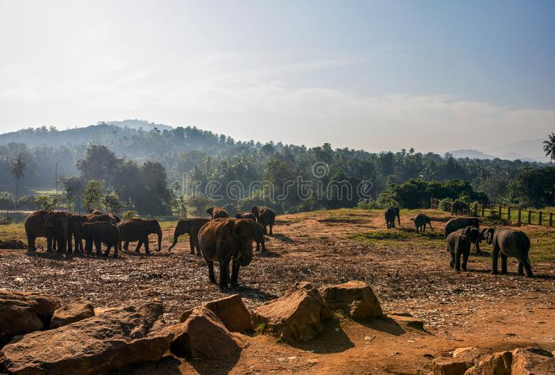 Morning view of a herd of elephants stock photography