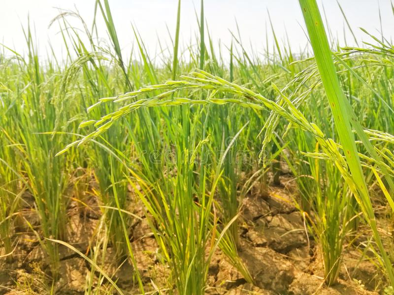 Dry Land Rice Closeup View in Morning royalty free stock photography