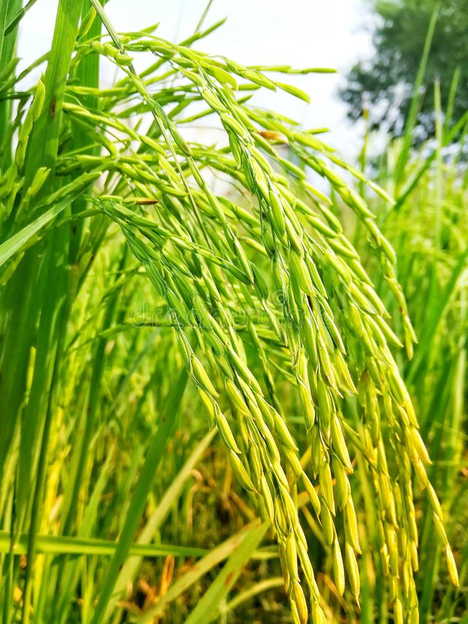 Healty Rice Field in Green and Yellow Shades stock images