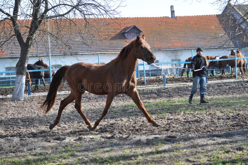 Morning warm-up horse on cord. Nahiryanka - Chortkiv - Ukraine - March 31, 2017. Coach Nahiryanka stud in the village on the morning workout using cord makes royalty free stock image