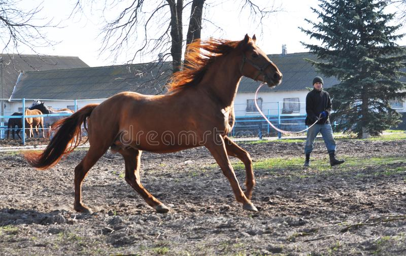 Morning warm-up horse on cord. Nahiryanka - Chortkiv - Ukraine - March 31, 2017. Coach Nahiryanka stud in the village on the morning workout using cord makes royalty free stock photo