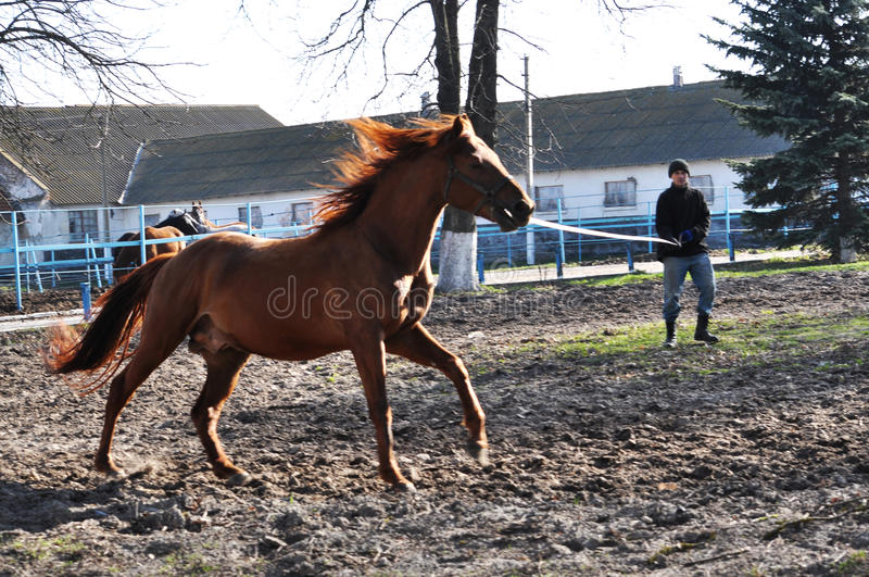 Morning warm-up horse on cord_2. Nahiryanka - Chortkiv - Ukraine - March 31, 2017. Coach Nahiryanka stud in the village on the morning workout using cord makes stock images