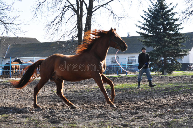 Morning warm-up horse on cord_4. Nahiryanka - Chortkiv - Ukraine - March 31, 2017. Coach Nahiryanka stud in the village on the morning workout using cord makes stock photo