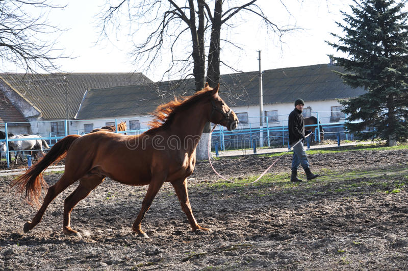 Morning warm-up horse on cord_5. Nahiryanka - Chortkiv - Ukraine - March 31, 2017. Coach Nahiryanka stud in the village on the morning workout using cord makes stock photos
