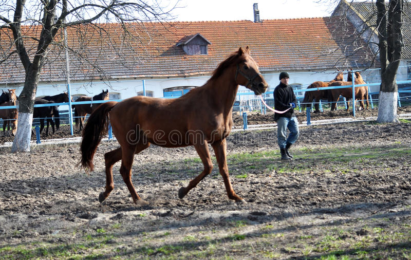 Morning warm-up horse on cord_6. Nahiryanka - Chortkiv - Ukraine - March 31, 2017. Coach Nahiryanka stud in the village on the morning workout using cord makes stock photos