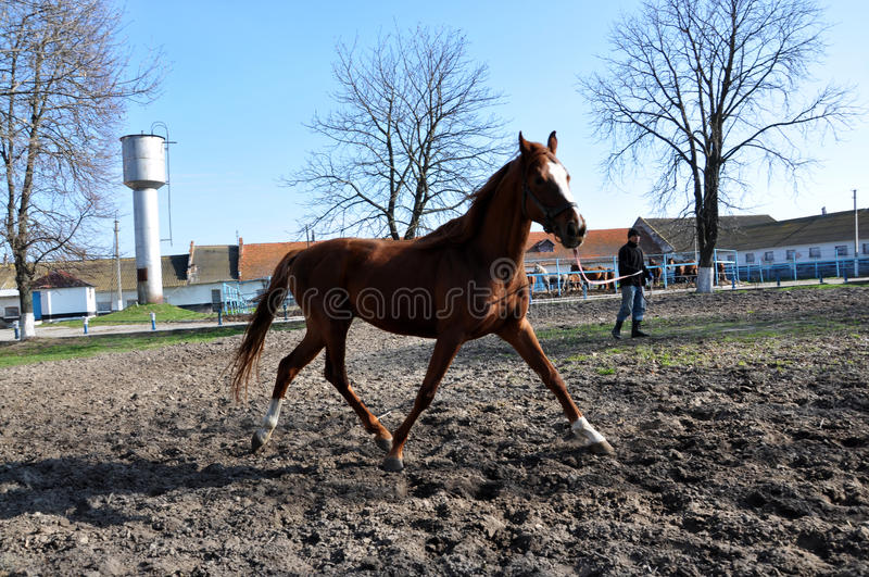 Morning warm-up horse on cord_8. Nahiryanka - Chortkiv - Ukraine - March 31, 2017. Coach Nahiryanka stud in the village on the morning workout using cord makes stock photo