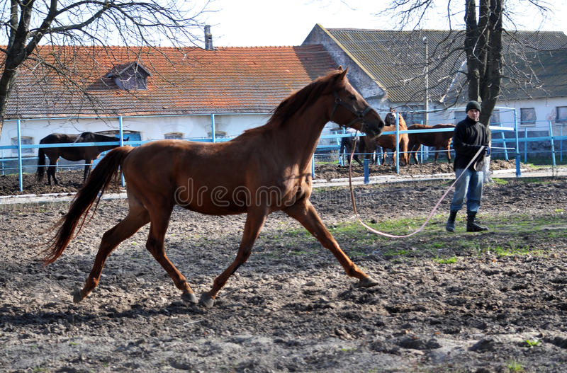 Morning warm-up horse on cord_7. Nahiryanka - Chortkiv - Ukraine - March 31, 2017. Coach Nahiryanka stud in the village on the morning workout using cord makes stock images
