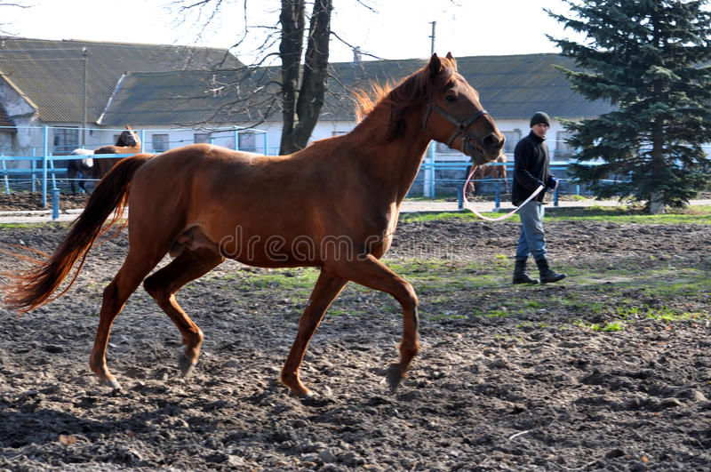 Morning warm-up horse on cord_9. Nahiryanka - Chortkiv - Ukraine - March 31, 2017. Coach Nahiryanka stud in the village on the morning workout using cord makes royalty free stock image