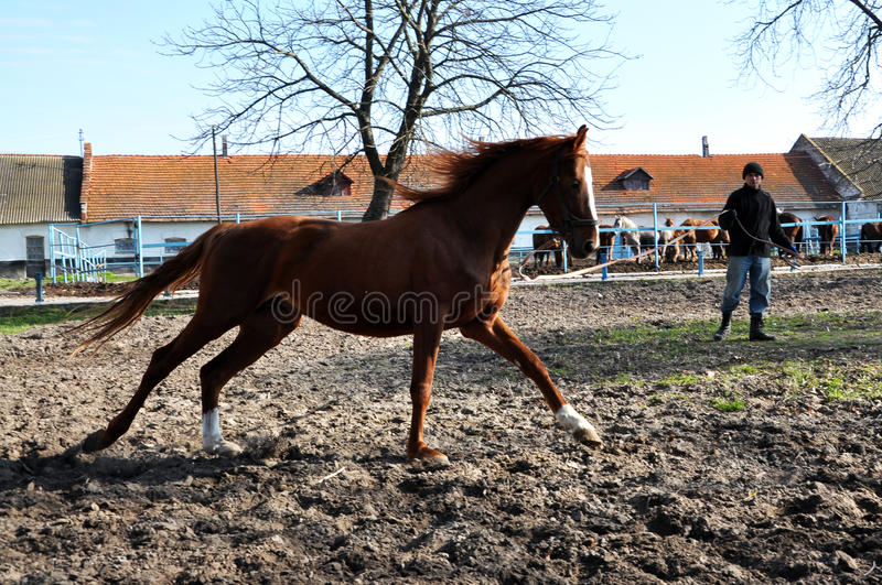 Morning warm-up horse on cord_11. Nahiryanka - Chortkiv - Ukraine - March 31, 2017. Coach Nahiryanka stud in the village on the morning workout using cord makes stock photo