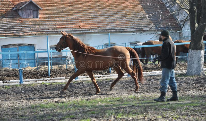 Morning warm-up horse on cord. Nahiryanka - Chortkiv - Ukraine - March 31, 2017. Coach Nahiryanka stud in the village on the morning workout using cord makes royalty free stock photos
