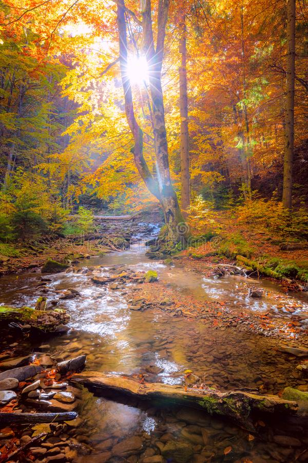 Autumn Morning in wild forest with real sun, colorful big trees and fast mountain river stock images