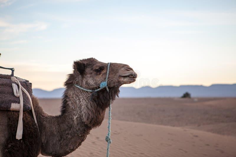 Morocan dessert. Camel in Zagora dessert, Morocco royalty free stock image