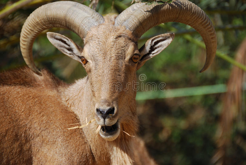 Download Moroccan mountain goat stock image. Image of nature, wild - 9533705
