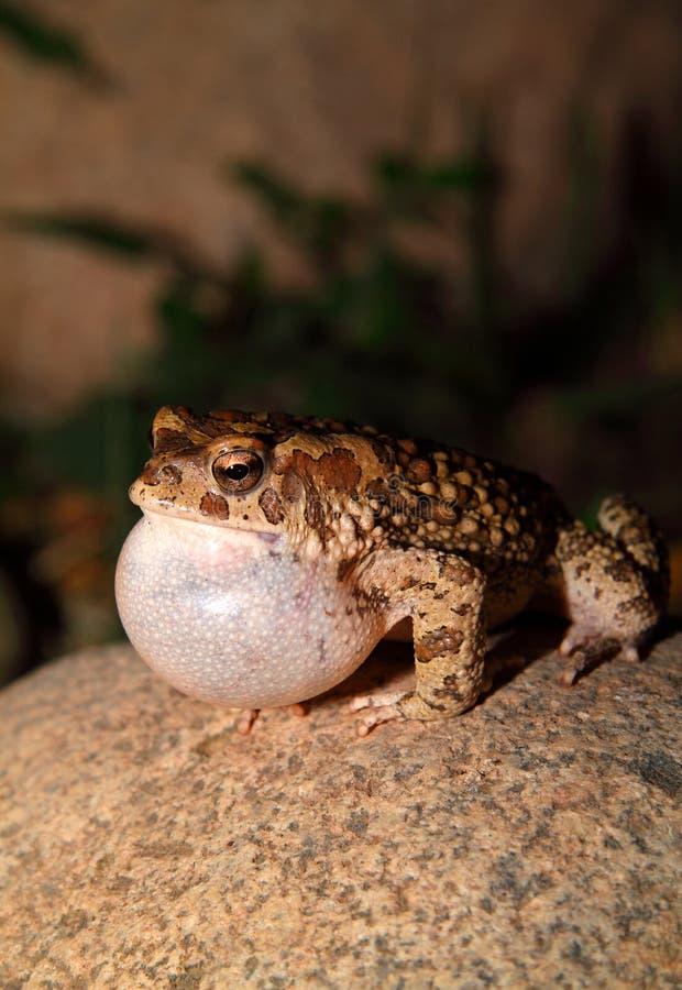 Download Moroccan Spadefoot Toad (Pelobates Varaldii) Stock Image - Image: 25537107