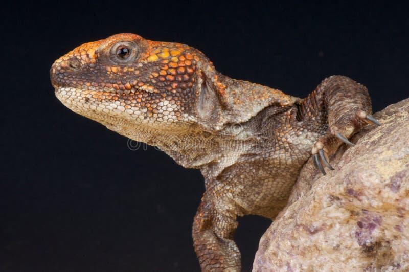 moroccan tailed spiny för agama arkivfoton