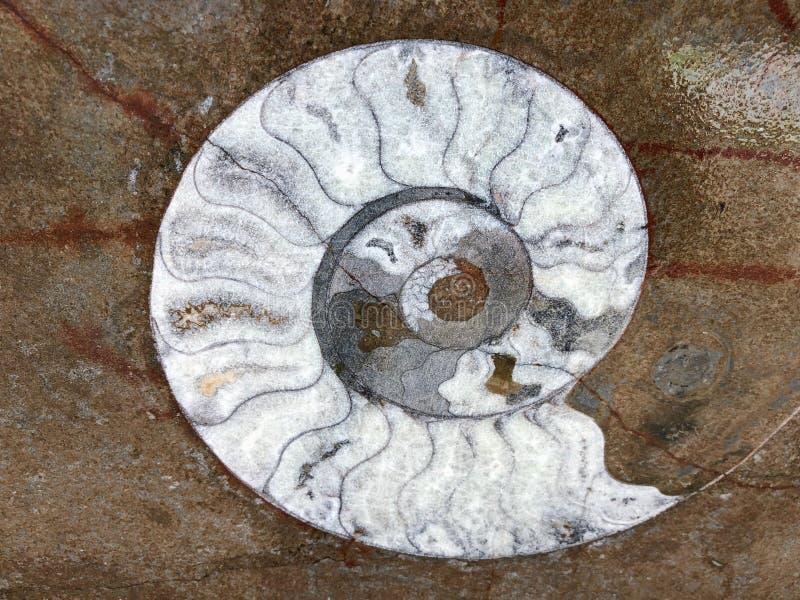 Ammonite fossils, extinct marine mollusc animals, found in Sahara Desert, Morocco. North Africa royalty free stock photos