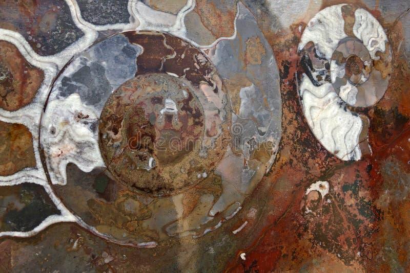 Ammonite fossils, extinct marine mollusc animals, found in Sahara Desert, Morocco. North Africa royalty free stock photography