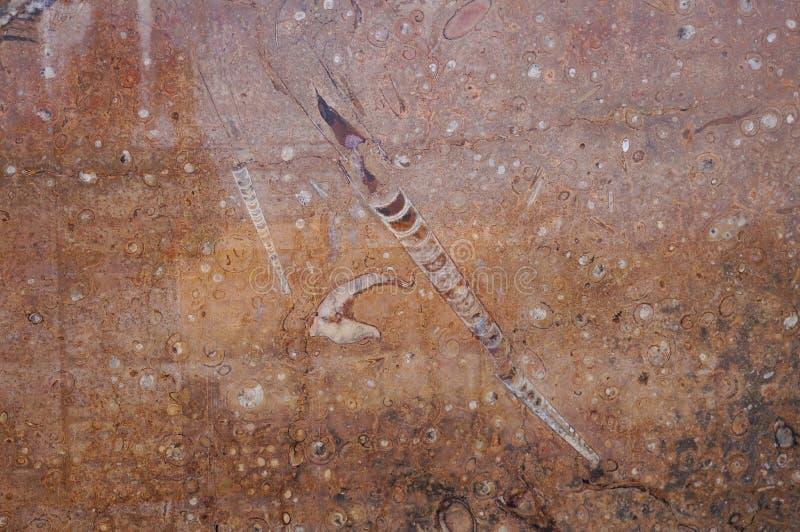 Moroccon化石在Erfoud,摩洛哥 库存照片