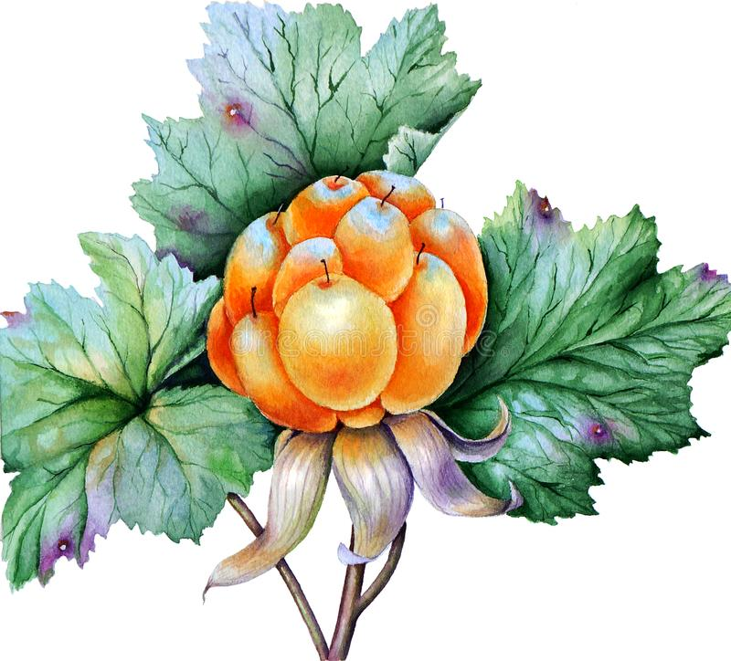 Moroszka liście i jagody fotografia royalty free