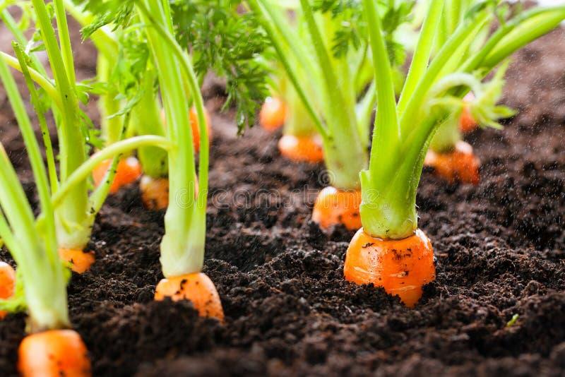 Morotgrönsaken växer i trädgården i den organiska backgroen för jord royaltyfri fotografi
