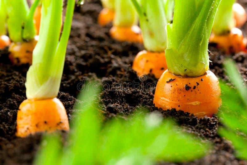 Morotgrönsaken växer i trädgården i den organiska backgroen för jord royaltyfria foton