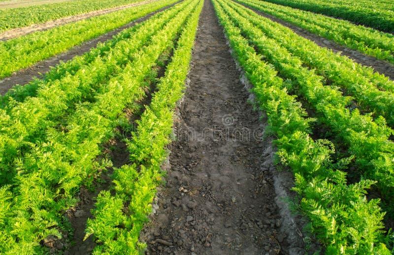 Morotkolonier växer i fältet gr?nsakrader v?xande gr?nsaker Lantg?rd Landskap med jordbruks- land Nya skördar royaltyfria foton