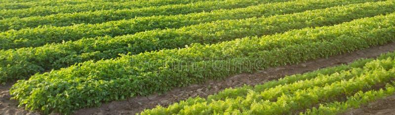 Morotkolonier v?xer i f?ltet Jordbruk organiska gr?nsaker gr?nsakrader lantbruk baner Selektivt fokusera royaltyfria foton