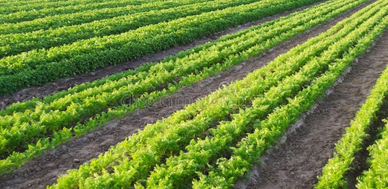 Morotkolonier v?xer i f?ltet Jordbruk organiska gr?nsaker gr?nsakrader lantbruk Selektivt fokusera arkivbild