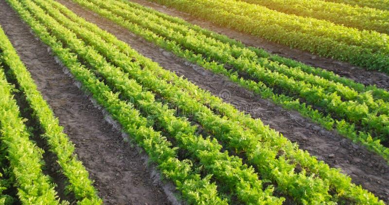 Morotkolonier v?xer i f?ltet Jordbruk organiska gr?nsaker gr?nsakrader lantbruk Selektivt fokusera arkivbilder