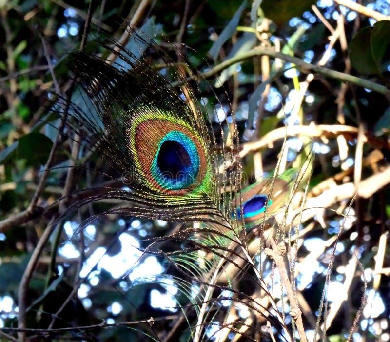 morpankh single colourful feather peacock 45956987