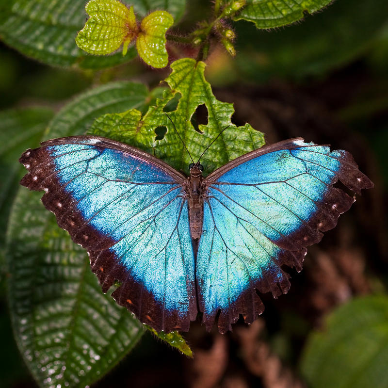 Download Morph butterfly stock photo. Image of costa, jungle, morph - 11587156