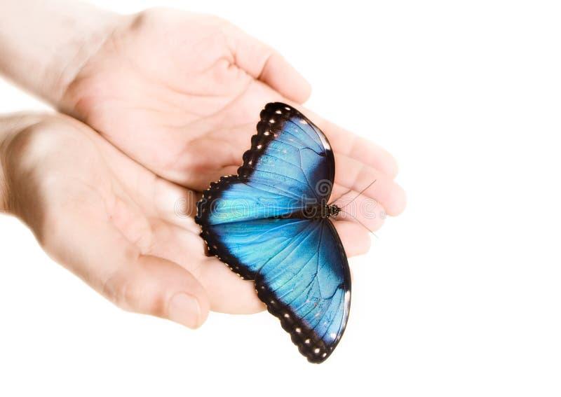 Morpho azul imagen de archivo libre de regalías